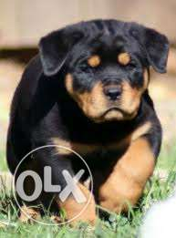 Superb quality all breed puppies available