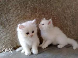 Very Sweet & So lovely Persian Cat and Kitten For Sale in