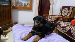 2 month old Rottweiler male puppy for sale. Price
