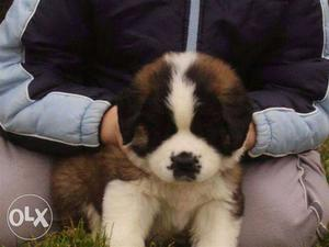 A1 quality Saint Bernard puppies available for