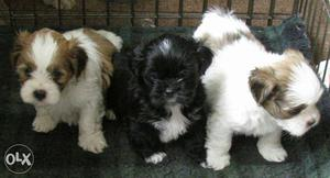 All good quality puppy avalible here.at lowest