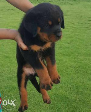 All types dogs puppy for sell deepkotakennel (kota-surajpol)