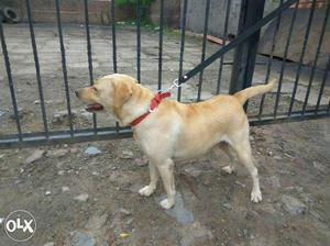 Beagle male puppies available for chennai