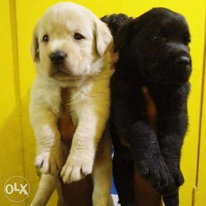 Big Head Labrador Retriever Original Puppies available here