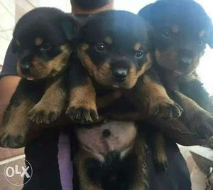 Black-and-tan Rottweiler Puppies