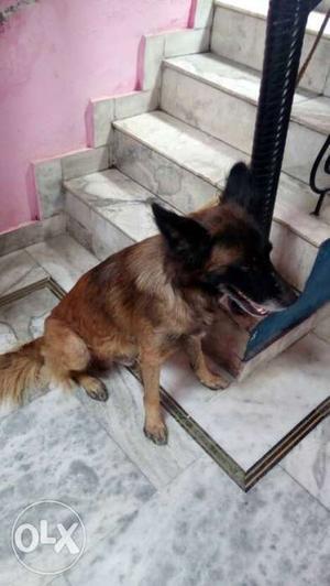 I have a germanshefrad dog if u want so call and