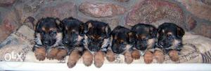 I want 2sell my cute German Sheperd Puppies chat with me