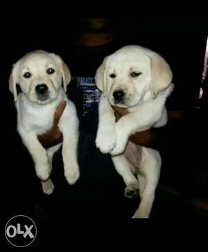 Import lineage champion line Labrador puppies