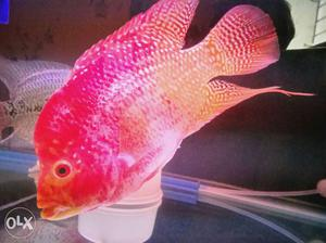 Imported very active and beautiful Albino female