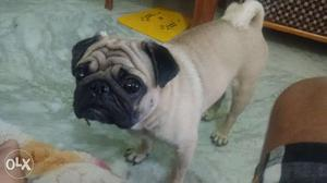 Male Pug 13 months. Fully vaccinated. Call me