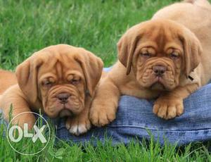 Only good quality puppy avalible at lowest price