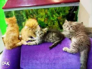 Persian kitten available in reasonable price