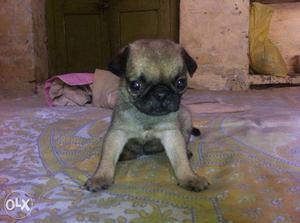 Pug female
