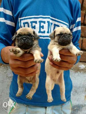 Pug male puppies available all breeds puppies top
