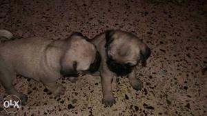 Pugs for sale. 35 days old and dewormed. original breed.