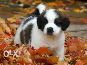 Saint Bernard puppies available for sell