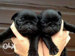 Show quality pug puppy male and female age 1 months contact