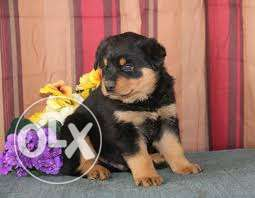 Super lineage rottweiler puppies available for