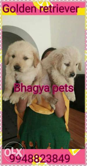 Top quality Golden Retriever Puppies available