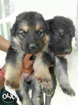Double Coat German Shepherd Heavy Male and Female