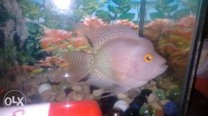 Floren fish male alvino ha