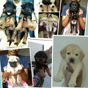 Hand To Hand All Kinds Of Breed Available (Punjab Pets
