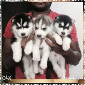 Import bloodline Golden retriever puppies male at