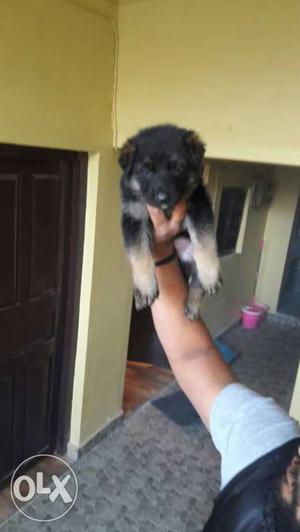 Origional pic Show quality gsd puppy avilable for