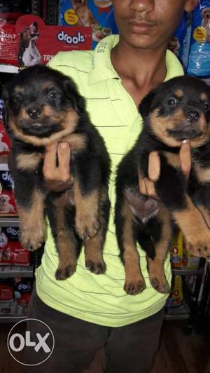 Show Quality Rottweiler puppy available 1 male 2
