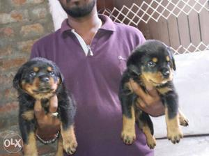 Show quality Rottweiler puppies for sale vet