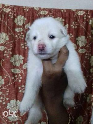 Snow white german spitz male puppy 35 days for