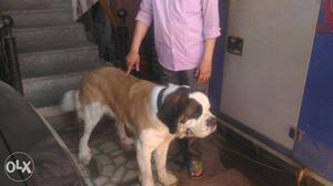 St Bernard breed just 11 months very innocent
