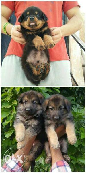 Super Quality Gsd Double coat pups & Handsome Rotwiller pups