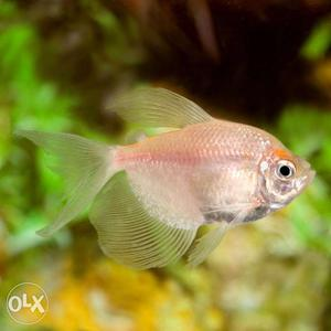 White Skirt Tetra and Imported Betta Fighterfish
