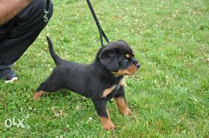 All breed Top Quality Male female puppies