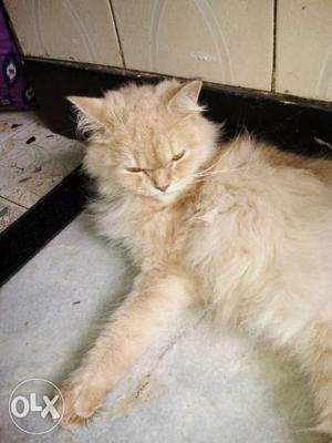 Female Persian cat very active in