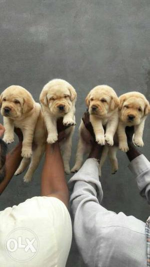 Hello frnds I'm selling my Labrador puppies ready