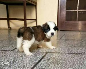 Hello frnds I'm selling my Santbrnad puppy ready to new home