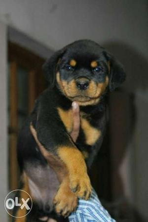 Rottweiler male puppy top quality. father