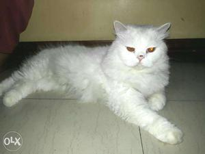 Semi punch male and doll face female persian