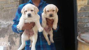 X1 Yellow Labrador Retriever Puppies all breed pupp