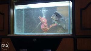 20 cm long pearl spot flowerhorn fish.beacause of