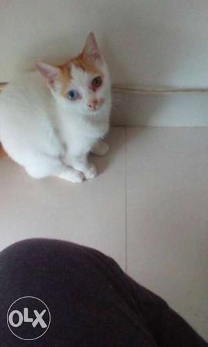 3 months old Persian cats kitten for sale