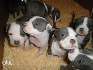 American Pitbull Terriers pups for sell