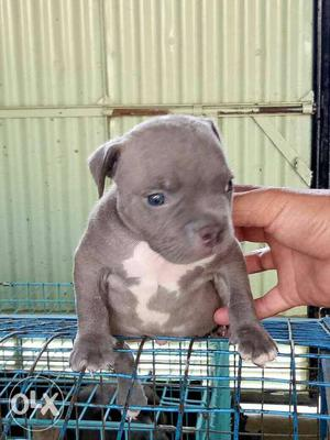American bully male female pup avaialble.for new home