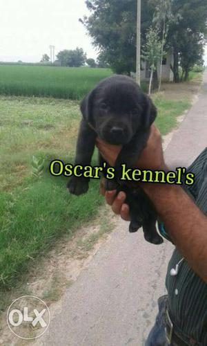 Healthy labra pup 33days Old Male Pup For Sale