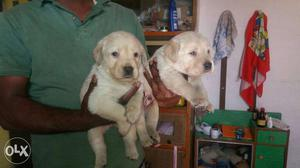 Labrador's fawn colour puppies available pure
