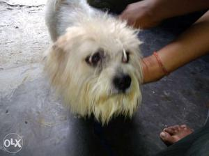 Lhasa male dog 1 year 3 months old good quality