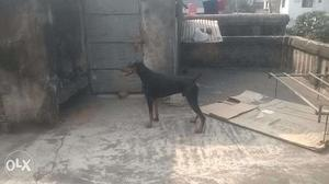 One Year old pure bred Doberman for security and personal