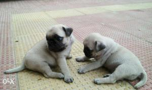 Pug puppies available pure breed puppies